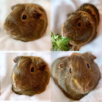 Clarice Pigling, a gold and brown guinea pig striking some poses and eating a bit of celery leaf.